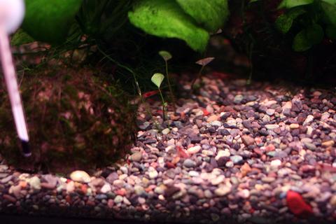 20101013アクアリウム(40水槽)水草水上葉ベトナムクローバー植える植栽完了1.JPG