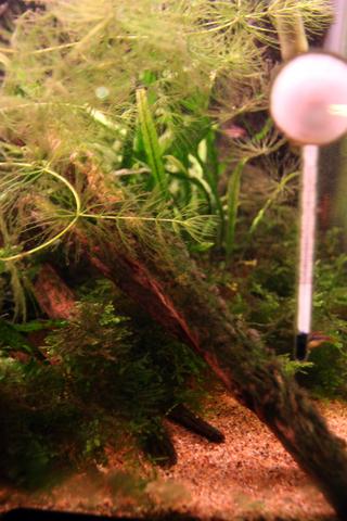 20101106アクアリウム(60水槽)流木緑苔緑藻黒髭苔1.JPG
