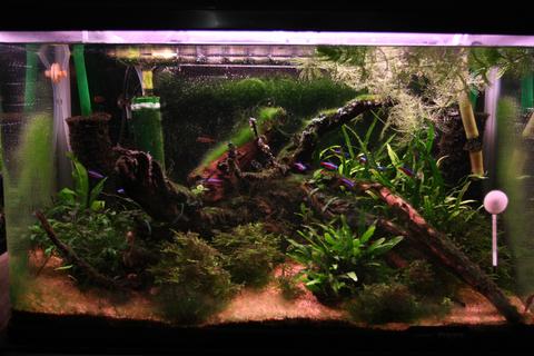 20101116アクアリウム(60水槽)苔水槽緑苔緑藻藍藻黒髭苔.JPG