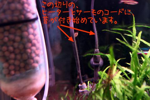 20101214アクアリム(60水槽)緑藻緑苔.JPG