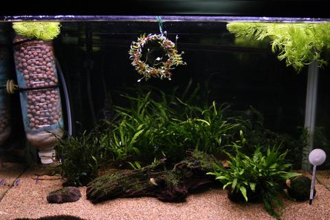 20101224アクアリウム(クリスマス)水槽用水草リース水槽飾り付け1.JPG