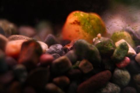 20110115アクアリウム(40水槽)レッドチェリーシュリンプ6.JPG
