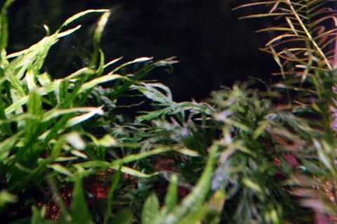 20110123アクアリウム(60水槽)水草ボルビティスヒュディロティ苔対策1.JPG