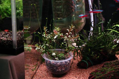 20110131アクアリウム(60水槽)クリスマス水槽用水草リース1.JPG