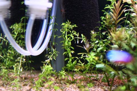 20110419アクアリウム(60水槽)パールグラス植栽直後.JPG
