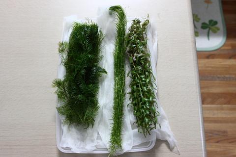 ミリオフィラム・マトグロッセンセ ラージ・マヤカ ロタラsp(水草)アクアリウム