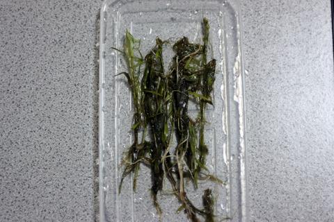 ベトナムゴマノハグサ(水草)アクアリウム