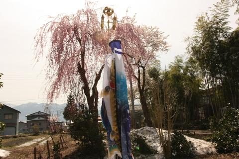 鯉のぼりと桜と雪.JPG