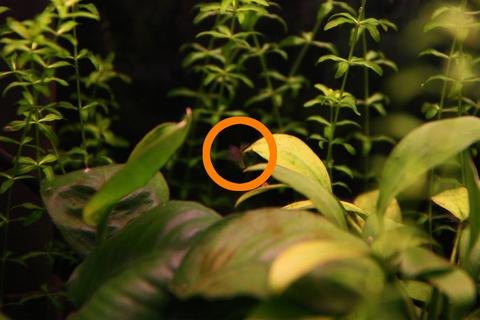 20100514アクアリウム(40水槽)アヌビアスナナ黒髭苔2.JPG