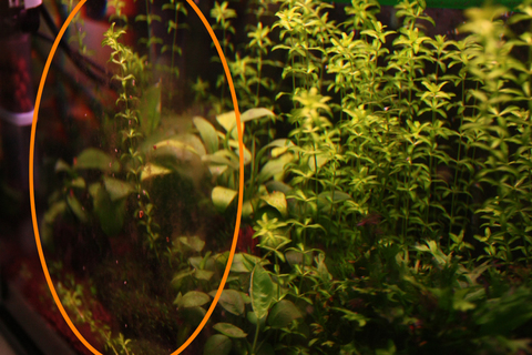 20100514アクアリウム(40水槽)ガラス面茶苔.JPG