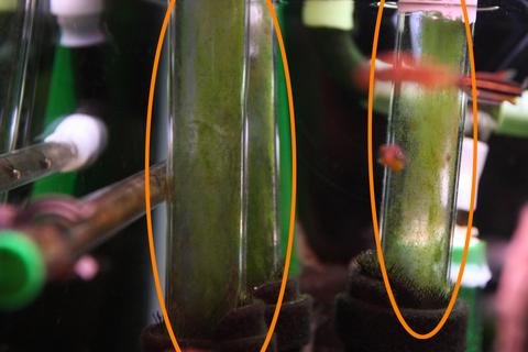 20100514アクアリウム(60水槽)水槽連結パイプアオミドロ.JPG