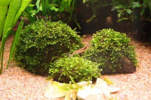 20100518アクアリウム(60水槽)水草南米ウィローモス2.JPG