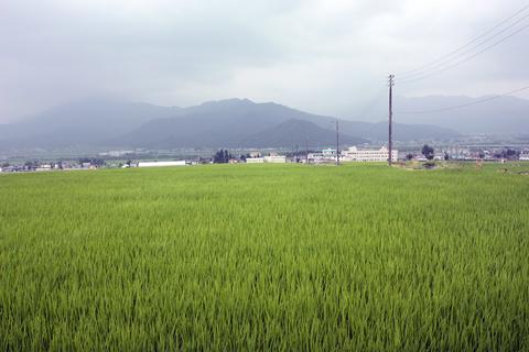 20100813アクアリウム休日(田んぼ)稲.JPG