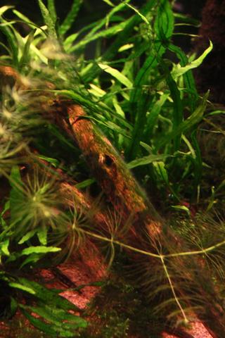 20101030アクアリウム(60水槽)流木緑苔黒髭苔1.JPG