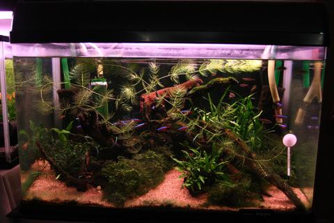 20101030アクアリウム(60水槽)緑苔藍藻.JPG