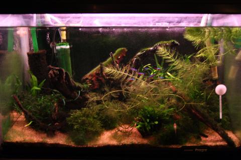 20101106アクアリウム(60水槽)緑苔緑藻藍藻黒髭苔.JPG