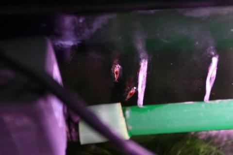 20101124アクアリウム(40水槽)レッドチェリーシュリンプの壁登り2.JPG