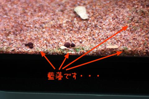 20101214アクアリム(60水槽)底砂ガラス面藍藻1.JPG