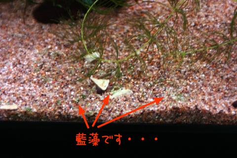 20101214アクアリム(60水槽)底砂ガラス面藍藻2.JPG
