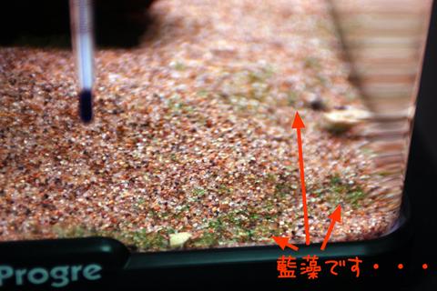 20101214アクアリム(60水槽)底砂ガラス面藍藻3.JPG