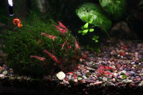 20101218アクアリウム(40水槽)レッドチェリーシュリンプ冷凍赤虫キョーリンクリーン赤虫.JPG