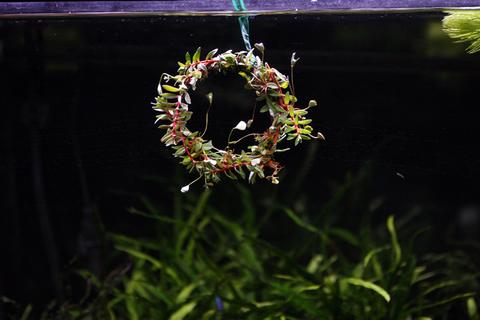 20101224アクアリウム(クリスマス)水槽用水草リース水槽飾り付け2.JPG