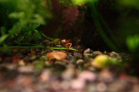 20101225アクアリウム(40水槽)ベトナムクローバー枯れ葉トリミング.JPG