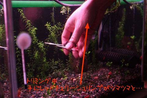 20101225アクアリウム(40水槽)水草トリミングレッドチェリーシュリンプ.JPG