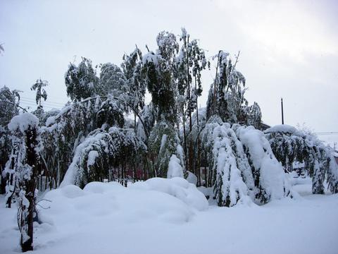 20101226アクアリウム(クリスマス)竹林積雪.JPG