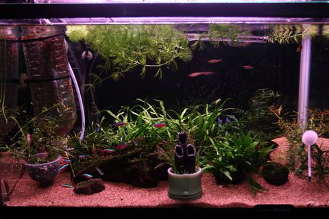 20110103アクアリウム(お正月)水槽用水草門松水槽飾り付け2.JPG