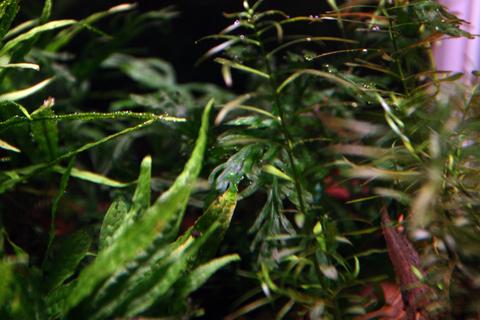 20110123アクアリウム(60水槽)水草ボルビティスヒュディロティ苔対策2.JPG