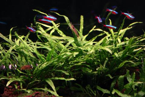 20110123アクアリウム(60水槽)水草ミクロソリウムナローリーフ苔対策.JPG