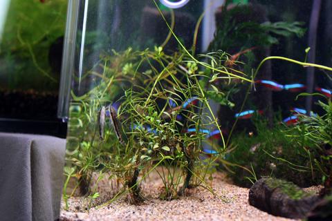 20110131アクアリウム(60水槽)クリスマス水槽用水草リース2.JPG
