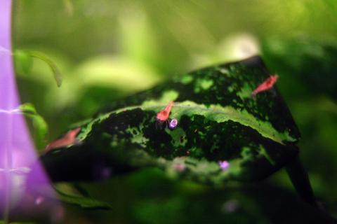 20110206アクアリウム(40水槽)レッドチェリーシュリンプ稚エビ2.JPG