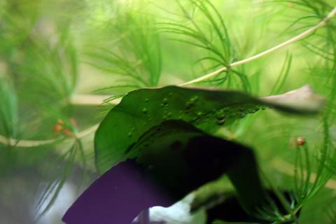 20110207アクアリウム(40水槽)アヌビアスナナ気泡.JPG