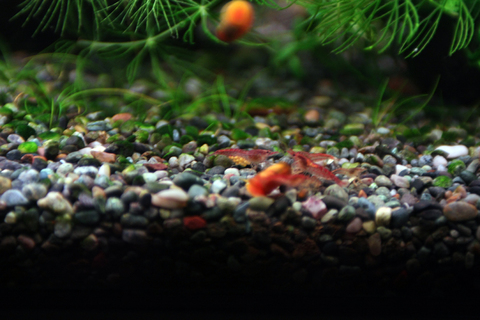 20110210アクアリウム(40水槽)レッドチェリーシュリンプ抱卵1.JPG