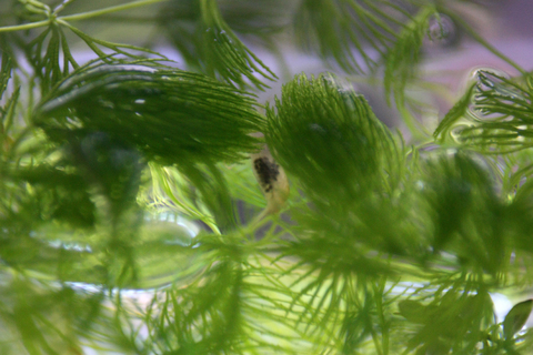 20110213アクアリウム(水槽サテライト)ミナミヌマエビ抱卵2.JPG