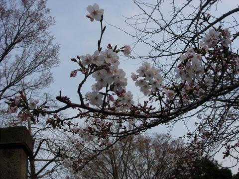 20110402アクアリウム(桜)ソメイヨシノ春.JPG