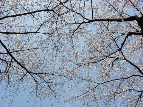 20110414星の王子様PA(寄居PA)桜.JPG