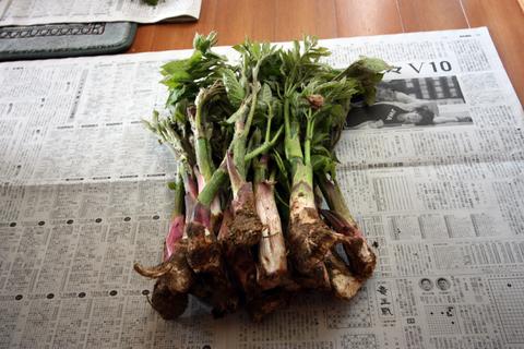 20110504山菜(山菜採り)うど.JPG