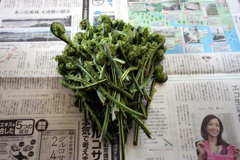 20110504山菜(山菜採り)こごめ こごみ.JPG