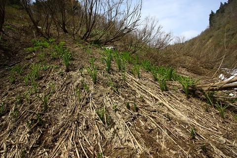 20110506原始の森(山菜採り)こごめ こごみ1.JPG