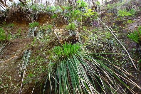 20110506原始の森(山菜採り)ぜんまい.JPG