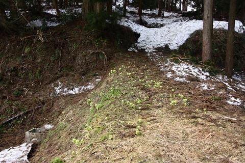 20110506原始の森(山菜採り)ふきのとう1.JPG