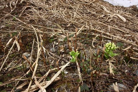 20110506原始の森(山菜採り)ふきのとう2.JPG