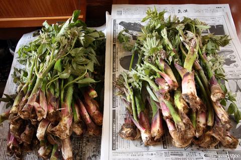 20110506原始の森(山菜採り)収穫 うど.JPG