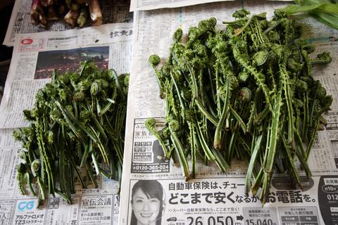 20110506原始の森(山菜採り)収穫 こごめ こごみ.JPG