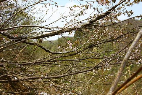 20110506原始の森(山菜採り)山桜.JPG
