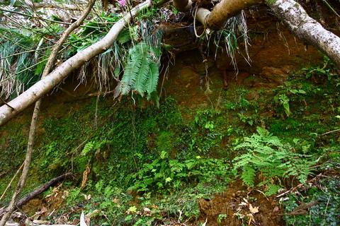 20110506原始の森(山菜採り)木々 シダ 植物1.JPG