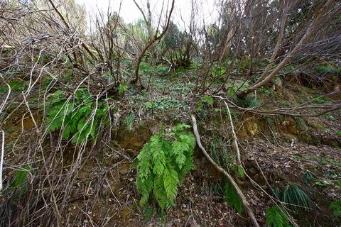 20110506原始の森(山菜採り)木々 シダ 植物2.JPG